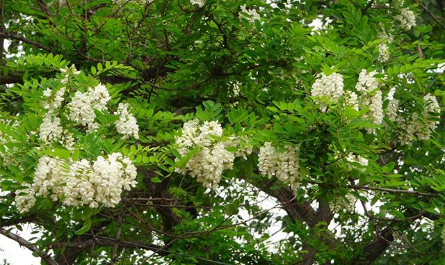护坡灌木刺槐种子