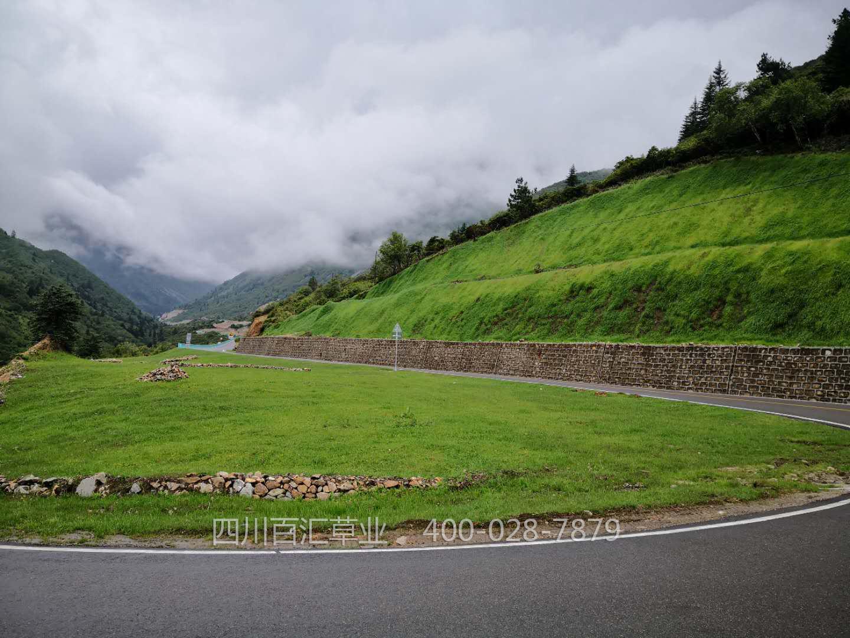 道路边坡绿化草坪草种