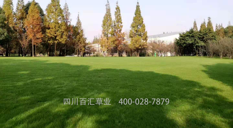 混播草坪多少钱一平方